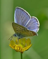 Polyommatus Icarus On Buttercup (G.Sartori.510) Tags: pentaxk1 smcpentaxda300mmf4edifsdm farfalla butterfly polyommatusicarus lepidoptera lycaenidae spiritromba proboscis ranuncolo buttercup