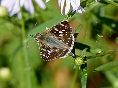 Common Checkered-Skipper (Pyrgus communis) (WRFred) Tags: butterfly washingtonwestquad maryland montgomerycounty insect skipper nature wildlife backyardwildlife