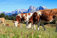 Auf der Seiser Alm  September Wanderung (trixi.mi) Tags: kühe alps südtirol love alm seiseralm italy alpedisiusi green september hiking wandern