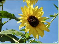"""Un Tournesol visité - A sunflower visited (Jogabi - Michèle) Tags: coth5 sunrays5 """"doublefantasy"""" tournesols"""