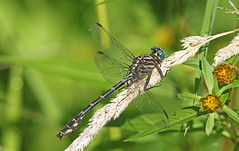 Gomphe marqué / Elusive clubtail (alainmaire71) Tags: insecte insect odonata odonate libellule dragonfly gomphe clubtail gomphidae stylurusnotatus gomphemarqué elusiveclubtail nature quebec canada