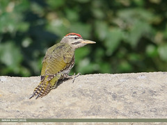 Scaly-bellied Woodpecker (Picus squamatus) (gilgit2) Tags: aliabad avifauna birds canon canoneos7dmarkii category fauna feathers geotagged gilgitbaltistan hunza imranshah location nature ornithology pakistan scalybelliedwoodpeckerpicussquamatus species tags tamron tamronsp150600mmf563divcusd wildlife wings gilgit2 picussquamatus