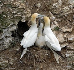 "Gannet Family (annjbee ""Birdie Lover"") Tags: gannets birds seabirds bempton wildlife nature rspb"