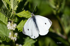 White Cabbage Butterfly (stitchersue) Tags: butterfly cabbagebutterfly wild flight whitby ontario canada