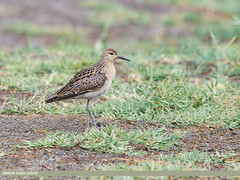 Ruff (Philomachus pugnax) (gilgit2) Tags: avifauna birds borit canon canoneos7dmarkii category fauna feathers geotagged gilgitbaltistan gojal imranshah location nature ornithology pakistan ruffphilomachuspugnax species tags tamron tamronsp150600mmf563divcusd wildlife wings gilgit2 philomachuspugnax
