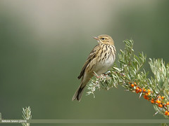 Tree Pipit (Anthus trivialis) (gilgit2) Tags: avifauna birds borit canon canoneos7dmarkii category fauna feathers geotagged gilgitbaltistan gojal imranshah location nature ornithology pakistan species tags tamron tamronsp150600mmf563divcusd treepipitanthustrivialis wildlife wings gilgit2 anthustrivialis
