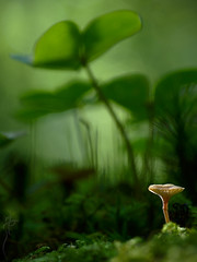 With Giants (ⒶZ-Photo) Tags: olympus omdem5ii zuikoautomacro135mm45 pilz makro mushroom macro saftling waxcap hygrocybe