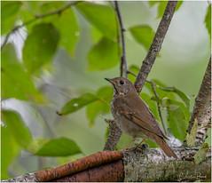 Early Morning Visitor (Summerside90) Tags: birds birdwatcher hermitthrush september summer fallmigration backyard garden nature wildlife ontario canada