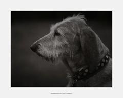 Mila - HP5 plus (I) (Maximilian Busl) Tags: bayern deutschland leupoldsgrün blackandwhite dog film animal outdoor hasselblad ilford 500cm hp5plus