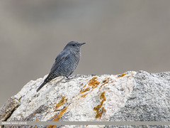 Blue Rock Thrush (Monticola solitarius) (gilgit2) Tags: avifauna birds bluerockthrushmonticolasolitarius borit canon canoneos7dmarkii category fauna feathers geotagged gilgitbaltistan gojal imranshah location nature ornithology pakistan species tags tamron tamronsp150600mmf563divcusd wildlife wings gilgit2 monticolasolitarius
