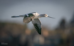 American Avocet (Recurvirostra americana) (Don Dunning) Tags: alameda americanavocet avocet birds california canon7dmarkii canonef100400mmisiiusm elsieroemerbirdsanctuary flight recurvirostraamericana