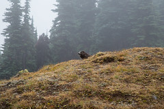 King of the Hill (AHeinbockel) Tags: olympic national park marmot hurricane ridge rodent ground squirrel furry mountains alpine washington usa peninsula