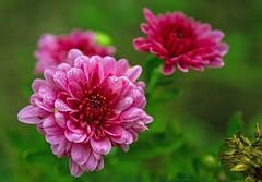 In the rain (L@nce (ランス)) Tags: victoria britishcolumbia micro nikkor nikon flowers flower rain raindrop raining