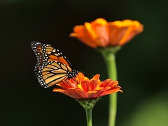 Orange Crush (Slow Turning) Tags: danausplexippus monarchbutterfly insect nectaring foraging forage feeding flower blossom zinnia orange summer southernontario canada