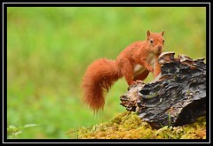 """It's Lke Water Off a Squirrel's Back..."" (NikonShutterBug1) Tags: nikond7200 tamron18400mm wildlife nature spe smartphotoeditor squirrel tamronaf18400mmf3563diiivcldasphericalif wildlifephotographyhides scottishphotographyhides"