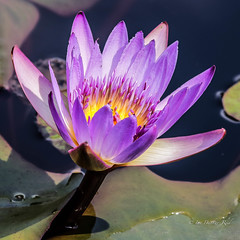 Water Lily (idunbarreid) Tags: waterlily