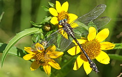 Gomphe marqué sur Bident penché / Elusive Clubtail on Nodding Beggartiks (alainmaire71) Tags: insecte insect odonata odonate libellule dragonfly gomphe clubtail gomphidae stylurusnotatus gomphemarqué elusiveclubtail nature quebec canada jaune yellow