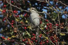 Red-backed Shrike (lanius collurio) (mrm27) Tags: shrike redbackedshrike lanius laniuscollurio hollandhaven essex