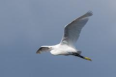 Little Egret (Glenn.B) Tags: nature rspb hamwall sky bird wildlife somerset naturereserve egret avian littleegret somersetlevels