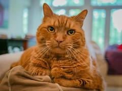 Atticus (1) (AbbyB.) Tags: cat orange ginger feline kitty