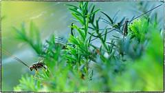 Giant Ichneumons (Megaryssa macrurus) (RKop) Tags: giantichneumons megaryssamacrurus raphaelkopanphotography ohio californiawoodspark d500 nikon nikkor200f4macro