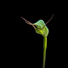 Kauri greenhood- Pterostylis agathicola (loveexploring) Tags: kaurigreenhood newzealand newzealandnativeorchid newzealandnativeplant orchidaceae pterostylis pterostylisagathicola pterostylisgramineavarrubricaulis blackbackground flower greenhood greenhoodorchids macro orchid plant wildflower