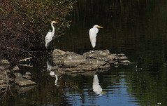 Great Egrets 3517 (Ethan.Winning) Tags: great egrets canon sx 50 mtdiablowalnutcreek ca copyright ethan winning
