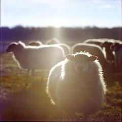 (Ir3nicus) Tags: film selfdeveloped farbnegativ colornegative analog analogue negativscan negativescan hasselblad500cm carlzeisssonnar150mm14ct mittelformat mediumformat 6x6 square 120 kodakportra400 epsonv800 filmisnotdead ishootfilm ilovefilm ausen outdoor schaf sheep tier animal demaasduinen niederlande netherlands limburg