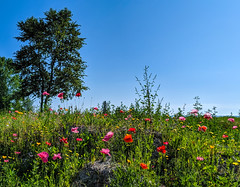 poppy field (ekelly80) Tags: michigan mackinacisland upnorth puremichigan august2019 summer field poppies poppy colors grass green bikeride tree