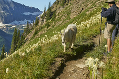 Wildlife on the Highline trail (Valley Imagery) Tags: glacier national park montana usa animal wild nature summer trail hiking sony a99ii 70400gii