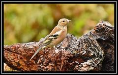 Chaffinch (NikonShutterBug1) Tags: nikond7200 tamron18400mm birds ornithology wildlife nature spe smartphotoeditor wings chaffinch tamronaf18400mmf3563diiivcldasphericalif wildlifephotographyhides scottishphotographyhides