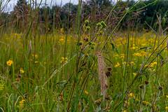 Grass & Flowers (ramseybuckeye) Tags: wildflowers yellow prairie field kendrick woods allen county ohio pentax art life nature