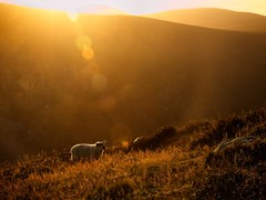 Evening Sun (Kevin_Barrett_) Tags: ireland wicklow scenic scenery serene sunset sheep mountain