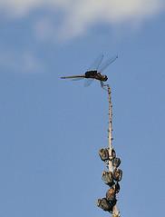 Big Bend Dragon Fly