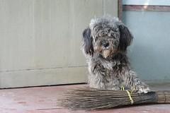 guarding the broom (the foreign photographer - ฝรั่งถ่) Tags: mop like dog gray guarding broom khlong thanon bangkhen bangkok thailand nikon