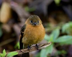 Cinnamon Flycatcher (barbmerrill2) Tags: flycatcher ecuador sanisidro pyrrhomyiascinnamomeus