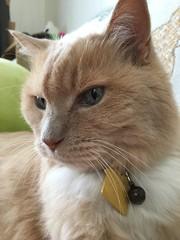 Norio on the Couch (sjrankin) Tags: 14september2019 edited animal cat livingroom kitahiroshima hokkaido japan norio couch closeup tag collar
