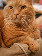 Atticus (6) (AbbyB.) Tags: cat orange ginger feline kitty