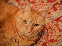 Atticus (2) (AbbyB.) Tags: cat orange ginger feline kitty