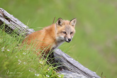 Life Of Adventure (Megan Lorenz) Tags: redfox fox foxkit kit babyanimals animal mammal nature wildlife wild wildanimals newfoundland canada mlorenz meganlorenz