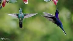 Hummingbirds @ Cavendishia bracteata (Daniel Mclaren .:. Naturalist Guide CR) Tags: greencrownedbrilliant violetsabrewing costarica birdwatching