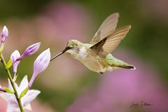 Ruby-throated Hummingbird (lindapp57) Tags: rubythroatedhummingbird