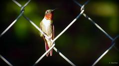 Bird On a Wire (Suzanham) Tags: hummingbird rubythroatedhummingbird wirefence fence perching bird wildllife nature gorget iridescence
