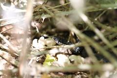 Melanistic Adder No 2 (ChristianMoss) Tags: melanistic black adder snake vipera berus reptile