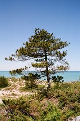 A Pine with a view (.grux.) Tags: asahipentaxsv m42 supermulticoated takumar28mmf35 film kodakcolorplus200 sunnyf16 tree pine sanddune sky water thepinery provincialpark lakehuron