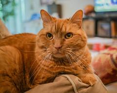 Atticus (5) (AbbyB.) Tags: cat orange ginger feline kitty