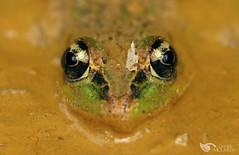 Rana tailory (Daniel Mclaren .:. Naturalist Guide CR) Tags: ranatailory frog costarica