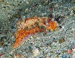 Nudibranch (Sea Slug)  Glossodoris sp. (oceanzam) Tags: ocean sea sand beach macro muck nudibranch scuba diving buceo aquatic marine agua playa travel nature animal color colorful colour outdoors outside philippines species biology