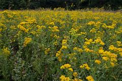 Nature's Colors (ramseybuckeye) Tags: wildflowers yellow prairie field kendrick woods allen county ohio pentax art life nature