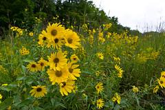 Bee on a Flower (ramseybuckeye) Tags: wildflowers yellow prairie field kendrick woods allen county ohio pentax art life nature